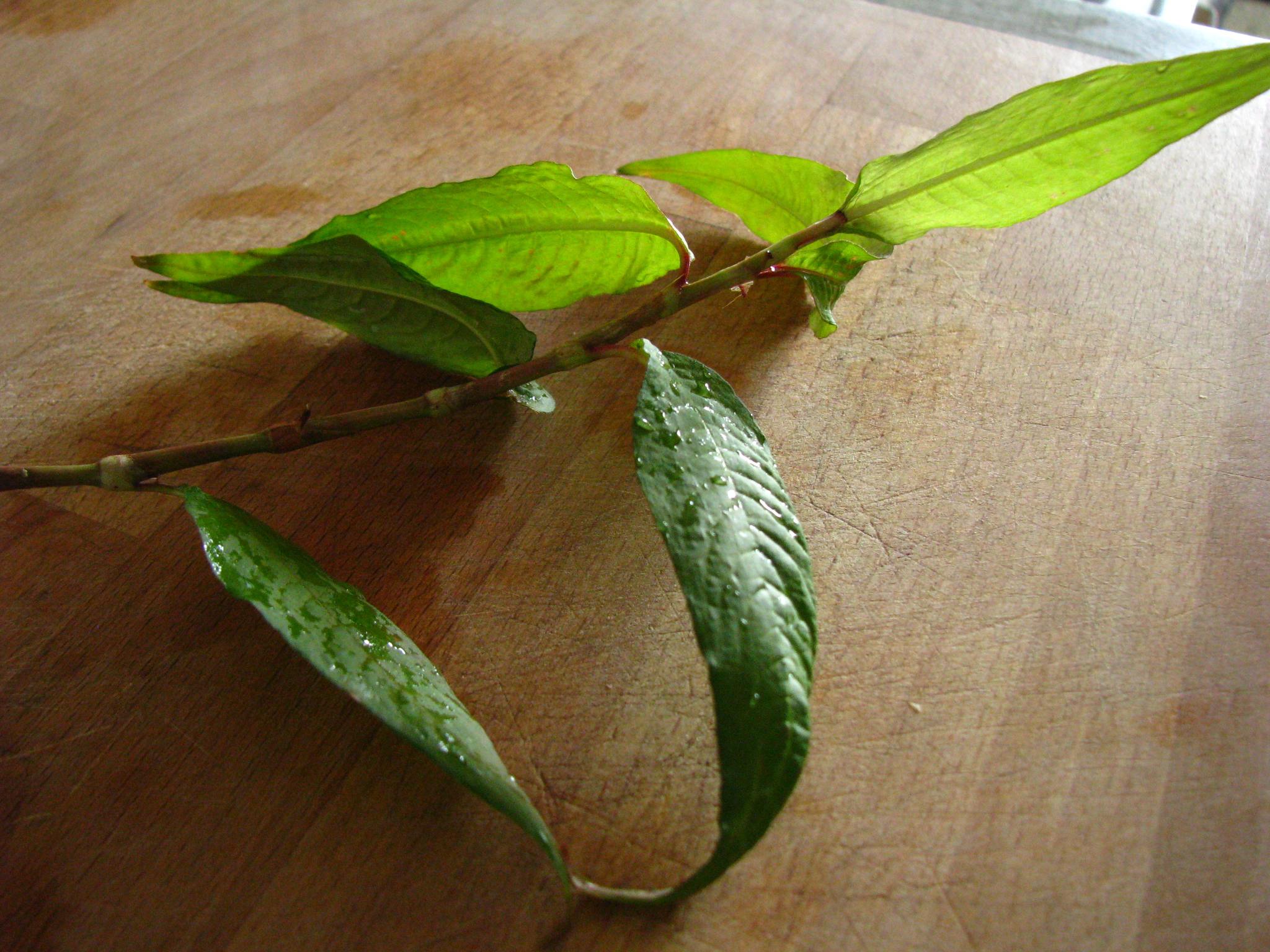 What are laksa leaves?