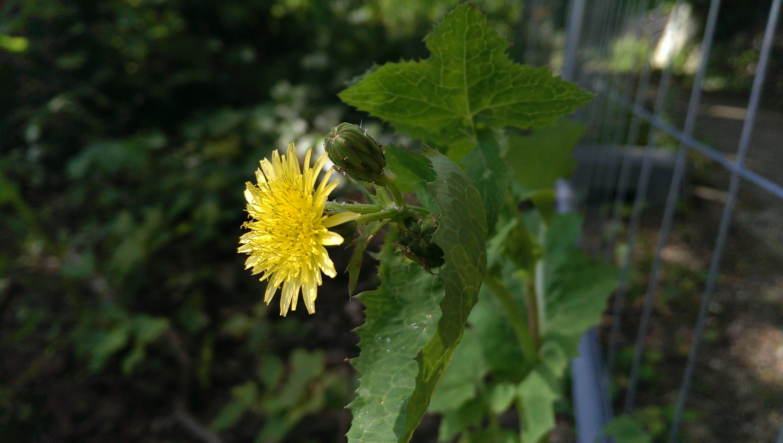 What is sow thistle carry it like harry mightylinksfo